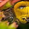 Great Carpenter Bee
