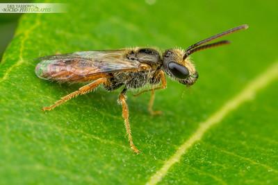 Bee on Lemon Myrtle