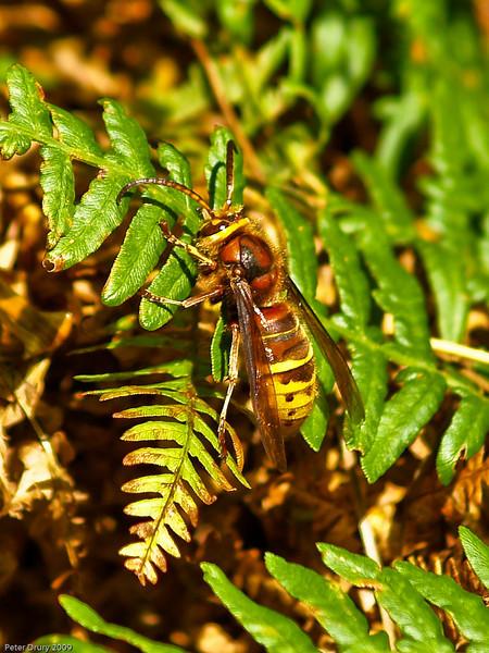 Hornet (Vespa crabro). Copyright 2009 Peter Drury