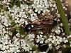 Ichneumon Wasp (Ichneumon sarcitorius). Copyright 2009 Peter Drury