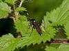 Ichneumon Wasp (Achaius oratorius). Copyright 2009 Peter Drury