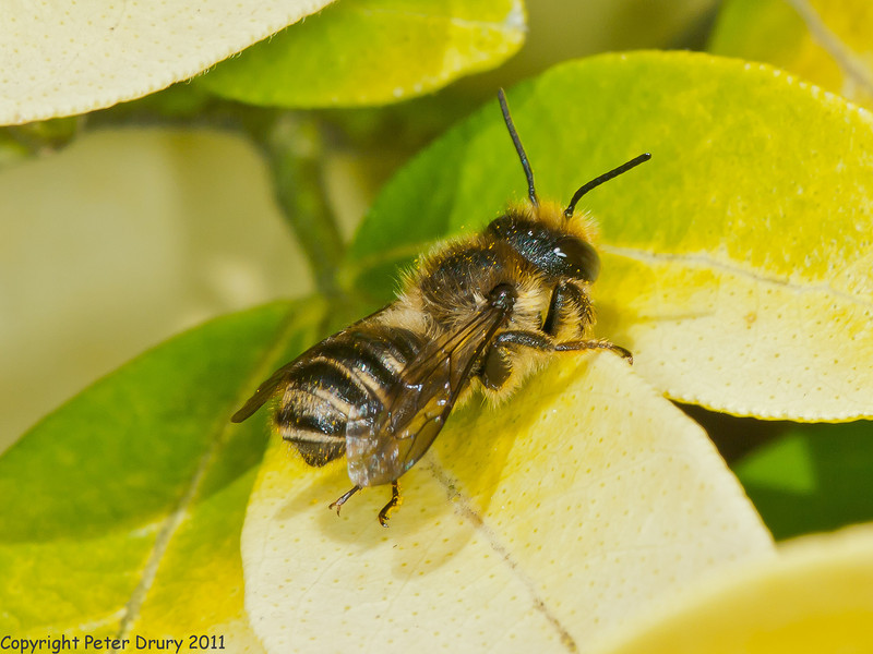 09 May 2011. Mason Bee (Osmia sp.) at Widley. Copyright Peter Drury 2011