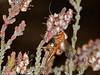 25 Sep 2010 - Ichneumon Wasp (Ophion luteus). Copyright Peter Drury 2010