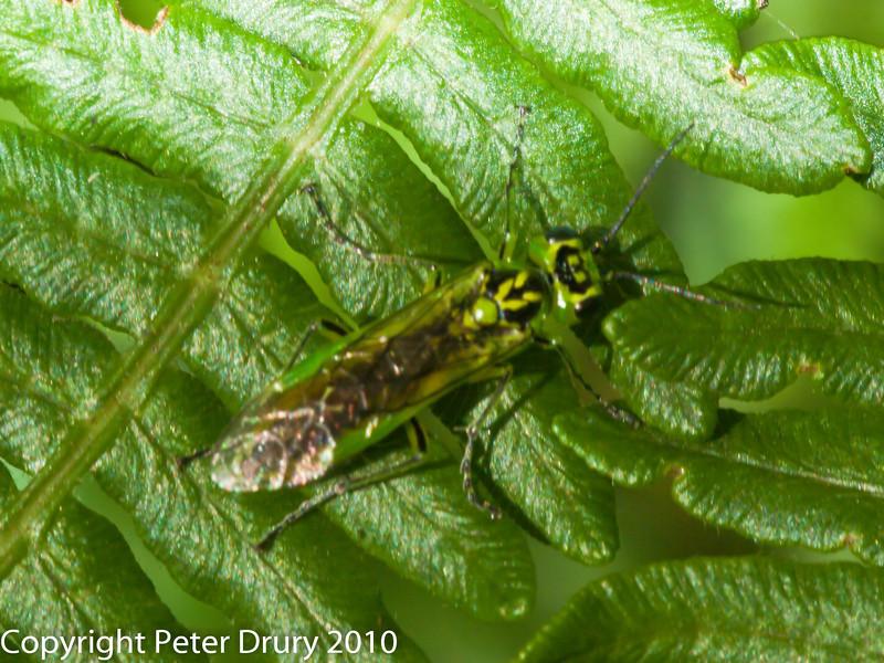 17 Jul 2010 Rhogogaster viridis at Creech Wood, Denmead. Copyright Peter Drury 2010<br /> Sawfly