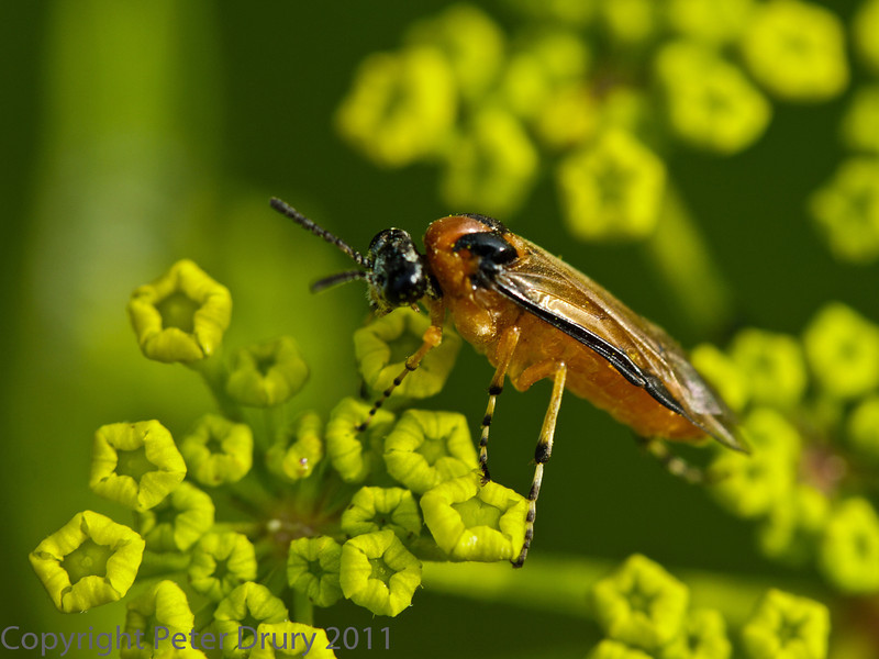 01 Aug 2011. Sawfly at Fort Nelson.