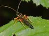 Ichneumon Wasp (Pimplinae sp). Copyright 2009 Peter Drury