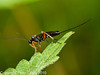 17 Sep 2010 - Ichneumon Wasp at Plant Farm, Waterlooville. Copyright Peter Drury 2010
