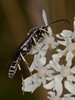 Ichneumon Wasp (Ichneumondae sp). Copyright 2009 Peter Drury