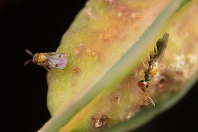 Male Gall Wasps