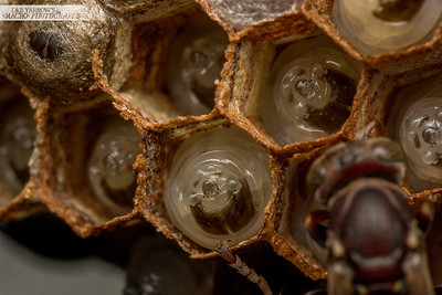 Paper Wasp Brood