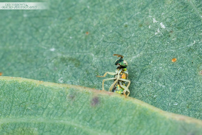 Egg-laying Wasp I