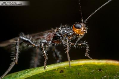 Orange-headed Wasp