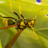 Large Yellow Wasp