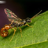 Flower Wasps Mating