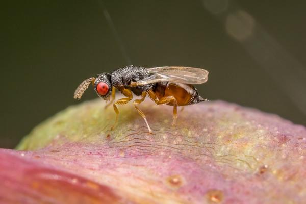 Micro Gall Wasp II