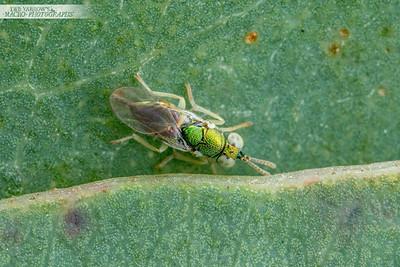 Green Wasp on Gum Leaf