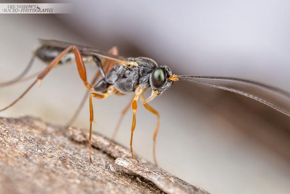 Lanky Wasp