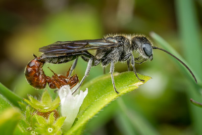 Mating Flower Wasps