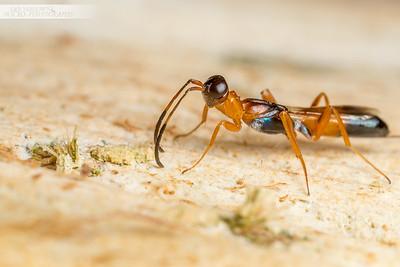 Wasp Ant Mimic