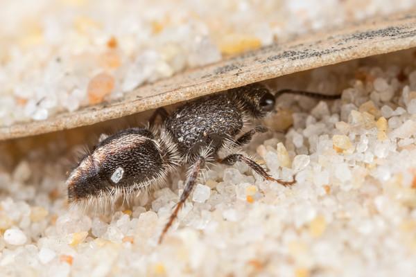 Velvet Ant Hiding