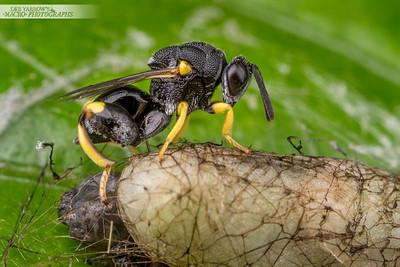 Brachymeria Wasp Ovipositing