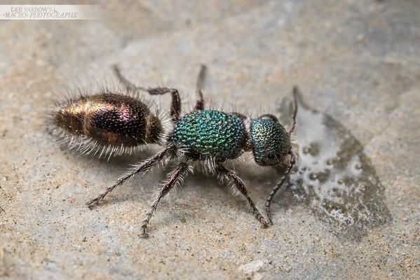 Green Velvet Ant