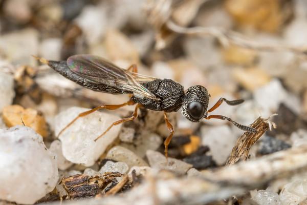 Locust Parasite