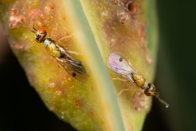 Male Gall Wasps II