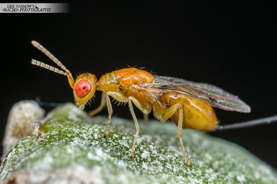 Orange Gall Wasp