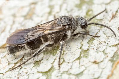 Male Velvet Ant