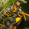 Mud Wasp and Prey