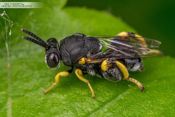 Brachymeria Wasp
