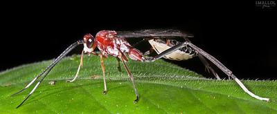 Beautiful red wasp (Ichneumonidae)