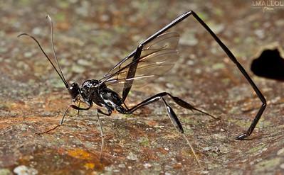 Scorpion wasp (Pelecinus sp.)