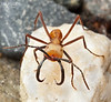 Army ant soldier close-up (Eciton burchellii)