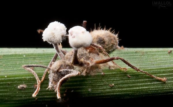Zombie fungus attack II (Ophiocordyceps lloydii var. binata)