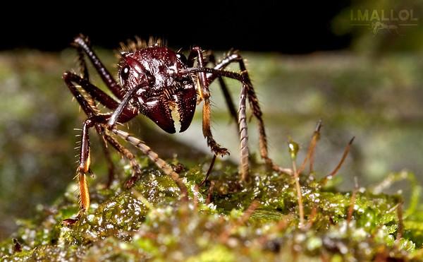 Bullet ant (Paraponera clavata)