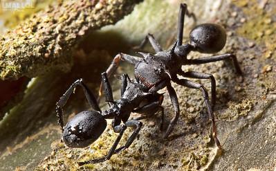 Aphantochilus rogersi (Spider) mimics Cephalotes atratus (Ant)