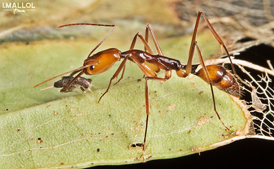 Trap jaw ant hunts cricket (Odontomachus sp.)