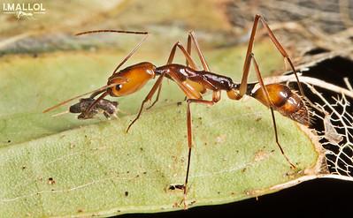 Trap jaw ant hunts cricket (Odontomachus sp.)