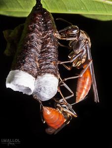Orange abdomen paper wasps
