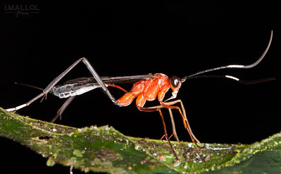 Red Ichneumon wasp