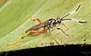 Cryptine parasitoid wasp (Fam. Ichneumonidae)