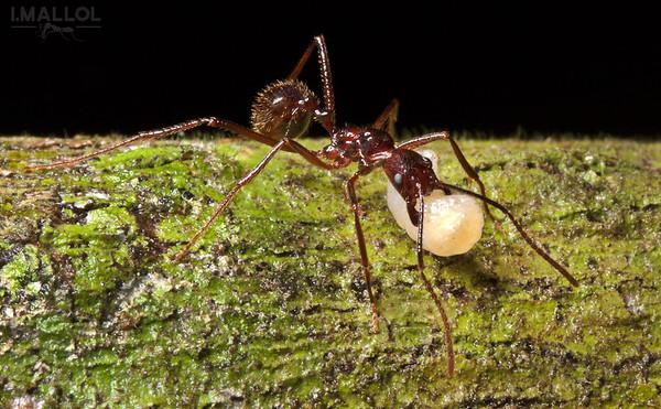 Ant carrying sister larva