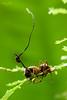 Zombie fungus attack! (Ophiocordyceps unilateralis)
