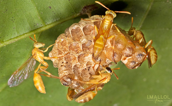 Paper wasps taking care of a young nest (Polistinae)