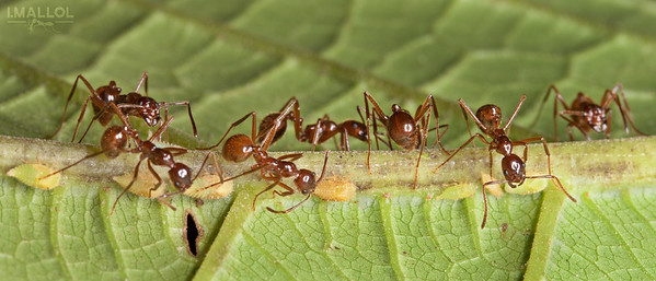 Ants farming treehoppers