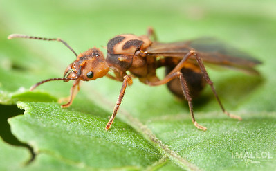 Leaf cutting ant queen (Acromyrmex coronatus)