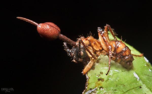 Zombie fungus attack! (Ophiocordyceps unilateralis) II