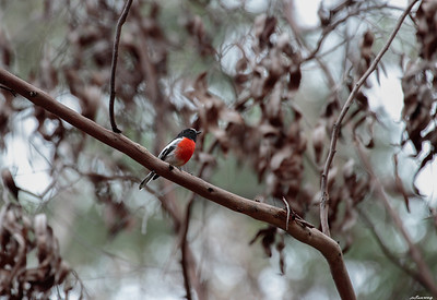 Robin ; Macleay Gorges